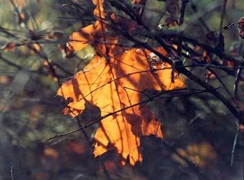 yellow_leaf